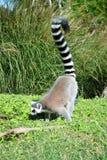 δαχτυλίδι κερκοπίθηκων που παρακολουθείται Catta κερκοπιθήκων Μαδαγασκάρη Στοκ εικόνα με δικαίωμα ελεύθερης χρήσης