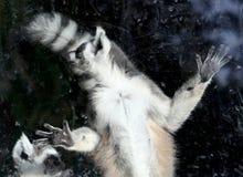 δαχτυλίδι κερκοπίθηκων catta που παρακολουθείται Στοκ Εικόνες