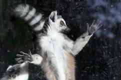 δαχτυλίδι κερκοπίθηκων catta που παρακολουθείται Στοκ Φωτογραφίες