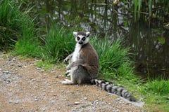 Δαχτυλίδι-παρακολουθημένος κερκοπίθηκος σε έναν ζωολογικό κήπο Στοκ εικόνες με δικαίωμα ελεύθερης χρήσης