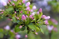 Αχλάδια κλάδων με τα ρόδινα λουλούδια στις πτώσεις βροχής Στοκ Εικόνες