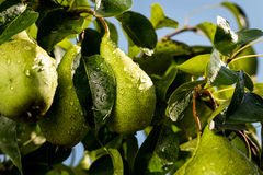 Αχλάδια σε έναν κλάδο, unripe πράσινο αχλάδι, δέντρο αχλαδιών, νόστιμο νέο αχλάδι χ Στοκ φωτογραφίες με δικαίωμα ελεύθερης χρήσης