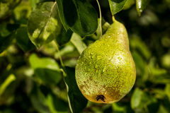 Αχλάδια σε έναν κλάδο, unripe πράσινο αχλάδι, δέντρο αχλαδιών, νόστιμο νέο αχλάδι χ Στοκ Φωτογραφία