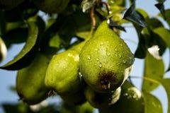 Αχλάδια σε έναν κλάδο, unripe πράσινο αχλάδι, δέντρο αχλαδιών, νόστιμο νέο αχλάδι χ Στοκ φωτογραφία με δικαίωμα ελεύθερης χρήσης