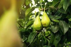 Αχλάδια σε έναν κλάδο, unripe πράσινο αχλάδι, δέντρο αχλαδιών, νόστιμο νέο αχλάδι χ Στοκ Εικόνες