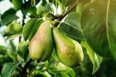 Αχλάδια σε έναν κλάδο, unripe πράσινο αχλάδι, δέντρο αχλαδιών, νόστιμο νέο αχλάδι χ Στοκ εικόνα με δικαίωμα ελεύθερης χρήσης