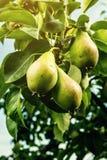 Αχλάδια σε έναν κλάδο, unripe πράσινο αχλάδι, δέντρο αχλαδιών, νόστιμο νέο αχλάδι χ Στοκ Εικόνα