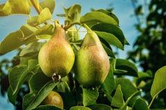 Αχλάδια σε έναν κλάδο, unripe πράσινο αχλάδι, δέντρο αχλαδιών, νόστιμο νέο αχλάδι χ Στοκ εικόνες με δικαίωμα ελεύθερης χρήσης