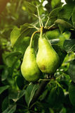 Αχλάδια σε έναν κλάδο, unripe πράσινο αχλάδι, δέντρο αχλαδιών, νόστιμο νέο αχλάδι χ Στοκ Φωτογραφίες