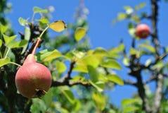 Αχλάδια σε ένα δέντρο Στοκ εικόνες με δικαίωμα ελεύθερης χρήσης