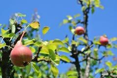 Αχλάδια σε ένα δέντρο Στοκ Φωτογραφία