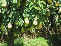 Αχλάδια στους κλάδους δέντρων Στοκ εικόνες με δικαίωμα ελεύθερης χρήσης