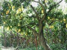 Αχλάδια στους κλάδους δέντρων Στοκ Εικόνα