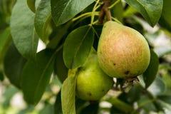 Αχλάδια στο δέντρο Στοκ φωτογραφία με δικαίωμα ελεύθερης χρήσης