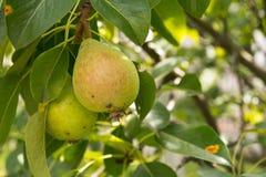 Αχλάδια στο δέντρο Στοκ εικόνες με δικαίωμα ελεύθερης χρήσης