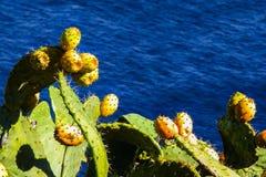 αχλάδια τραχιά Στοκ φωτογραφία με δικαίωμα ελεύθερης χρήσης