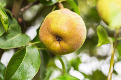 Αχλάδι σε ένα δέντρο Στοκ Εικόνες