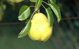 Αχλάδι σε ένα δέντρο Στοκ εικόνες με δικαίωμα ελεύθερης χρήσης