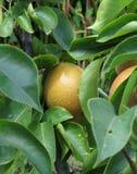 Αχλάδι της Apple στους κλάδους δέντρων Στοκ Εικόνες