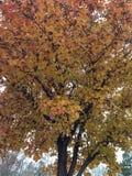 Αχλάδι του Μπράντφορντ το φθινόπωρο Στοκ εικόνες με δικαίωμα ελεύθερης χρήσης