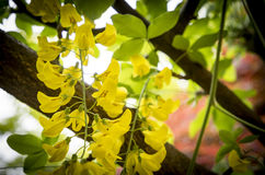Αψίδα Laburnum, κήποι Bodnant, Ουαλία Στοκ εικόνες με δικαίωμα ελεύθερης χρήσης