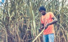 Αϊτινό άτομο στη φυτεία καλάμων ζάχαρης Στοκ Εικόνα