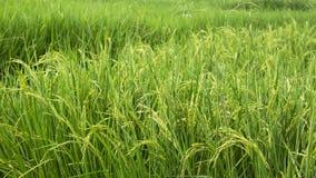 Αύξηση κινηματογραφήσεων σε πρώτο πλάνο φύσης βουνών τομέων ρυζιού στοκ εικόνες με δικαίωμα ελεύθερης χρήσης