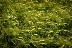 Αύξηση σίτου τομέων σιταριού που αυξάνεται την πράσινη καλλιέργεια γεωργική Στοκ Εικόνα