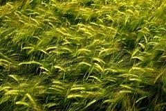 Αύξηση σίτου τομέων σιταριού που αυξάνεται την πράσινη καλλιέργεια γεωργική Στοκ φωτογραφία με δικαίωμα ελεύθερης χρήσης