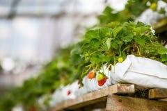Αύξηση φραουλών μωρών της φυτείας Στοκ εικόνα με δικαίωμα ελεύθερης χρήσης