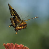 Αύξηση Swallowtail (γίγαντας του Τέξας) Στοκ φωτογραφία με δικαίωμα ελεύθερης χρήσης