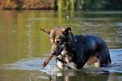 Αλάσκα -Αλάσκα-malamute που παίζει και που χαλαρώνει στο νερό Στοκ Φωτογραφία
