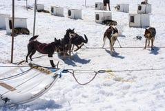 Αλάσκα - γεροδεμένα σκυλιά στο στρατόπεδο Musher Στοκ εικόνες με δικαίωμα ελεύθερης χρήσης