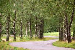 Αλέα σημύδων το καλοκαίρι στοκ φωτογραφίες