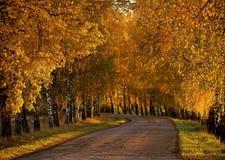 Αλέα σημύδων το φθινόπωρο στοκ εικόνες με δικαίωμα ελεύθερης χρήσης