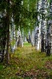 Αλέα σημύδων Στοκ Εικόνες