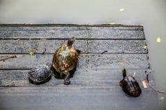 Αλαζονική χελώνα Στοκ φωτογραφία με δικαίωμα ελεύθερης χρήσης