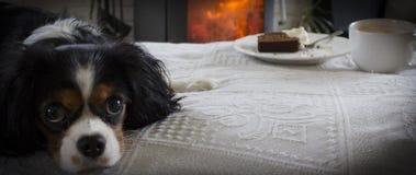 Αλαζόνας σκυλί του Charles βασιλιάδων Στοκ εικόνα με δικαίωμα ελεύθερης χρήσης