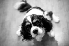 αλαζόνας σπανιέλ βασιλιάδων Charles Στοκ φωτογραφίες με δικαίωμα ελεύθερης χρήσης