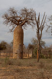 Αδανσωνία ή ανάποδο δέντρο Στοκ φωτογραφία με δικαίωμα ελεύθερης χρήσης