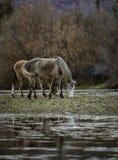 Αλατισμένα άγρια άλογα ποταμών Στοκ φωτογραφία με δικαίωμα ελεύθερης χρήσης