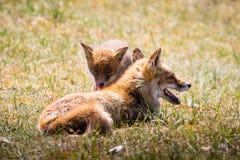 Αλεπούδες που χαλαρώνουν στη χλόη Στοκ Εικόνα