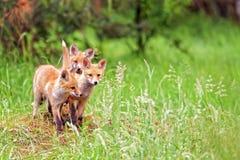 Αλεπούδες στις άγρια περιοχές Στοκ Φωτογραφία