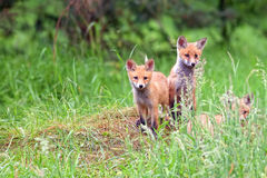 Αλεπούδες στο δάσος Στοκ εικόνες με δικαίωμα ελεύθερης χρήσης