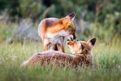 αλεπούδες δύο Στοκ φωτογραφία με δικαίωμα ελεύθερης χρήσης