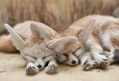 Αλεπούδες Fennec Στοκ φωτογραφίες με δικαίωμα ελεύθερης χρήσης