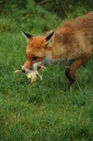 Αλεπού, κόκκινο FR (Vulpes V.) Στοκ φωτογραφίες με δικαίωμα ελεύθερης χρήσης
