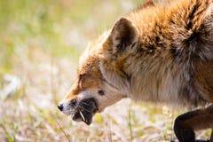 Αλεπού με το ποντίκι Στοκ Εικόνα