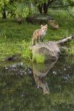 Αλεπού με δύο εξαρτήσεις Στοκ Φωτογραφίες