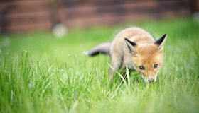 αλεπού μικρή Στοκ Εικόνες